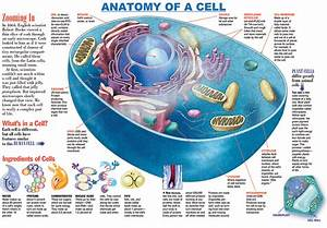 How Many Cells Are In A Human Body