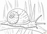 Snail Garden Coloring Pages Printable Drawing Realistic Sheets Snails Clipart Supercoloring Colouring Animal Sea Line Drawings Caracol Para Colorir Clip sketch template