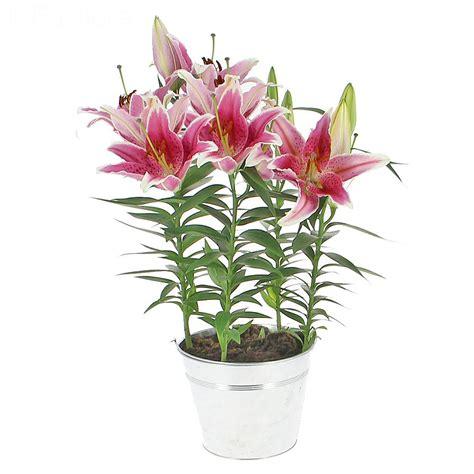 livraison lys en pot plante fleurie foliflora