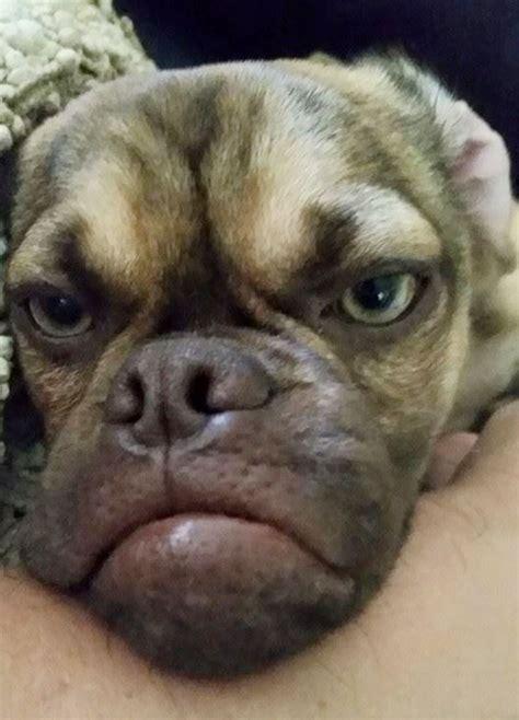 Grumpy Dog Meme - grumpy dog hates you even more than grumpy cat bored panda
