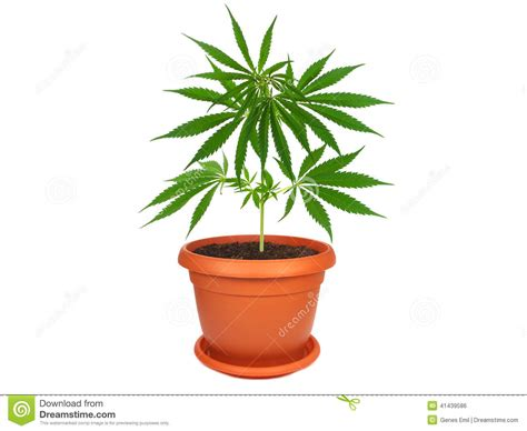 cannabis plant in a pot stock photo image 41439586
