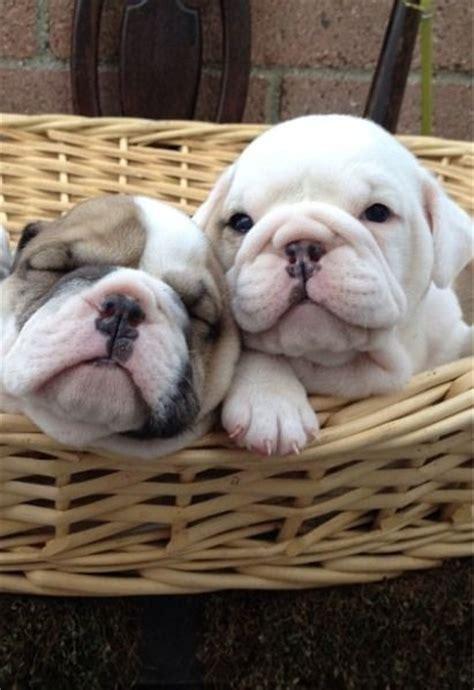 worldofbulldog worldofbulldog bulldogs puppies