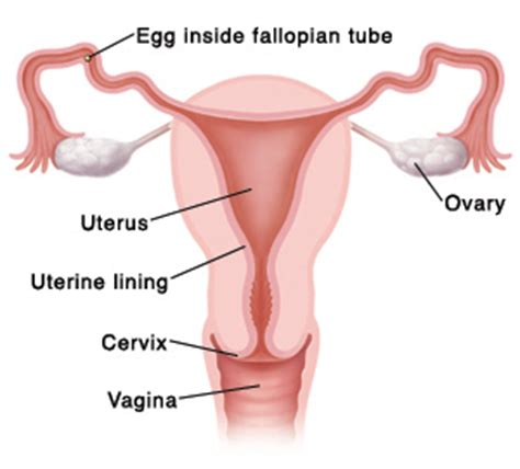 100 shedding of the endometrial lining occurs