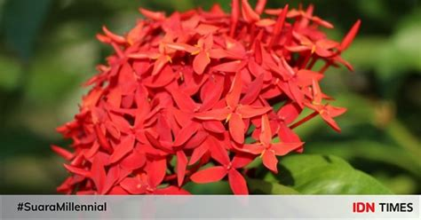 khasiat bunga asoka mampu atasi hipertensi hingga