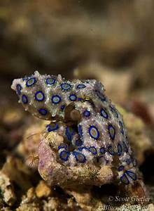 Blue Ringed Octopus Facts and Underwater Photos|Underwater ...