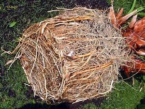 Palme Umtopfen Wurzeln Abschneiden : palmen und co berwinterung washi in der garage ~ Frokenaadalensverden.com Haus und Dekorationen