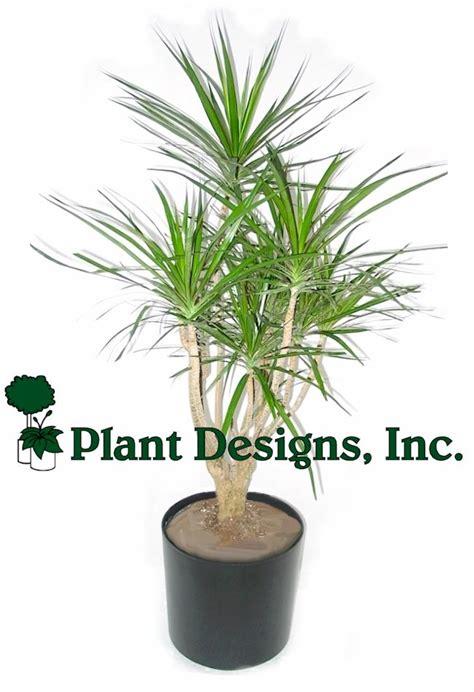 indoor tree plants best indoor palm trees indoor tree plants branched marginata plant indoor palms pinterest