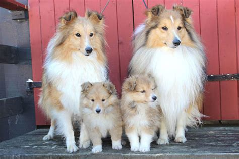 Shetland Sheepdog Shed A Lot by Shetland Sheepdog Dogs And Puppies Breeds Journal
