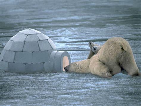 Polar Bear Wallpaper Hd |funny Animal
