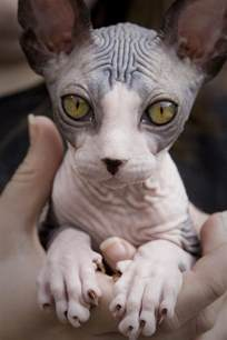 no hair cat sphynx cat cool animals