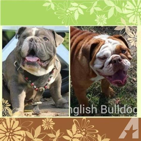 american bulldog colors color bulldog for sale in progreso lakes