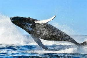 California blue whales recover to historic levels, thanks ...