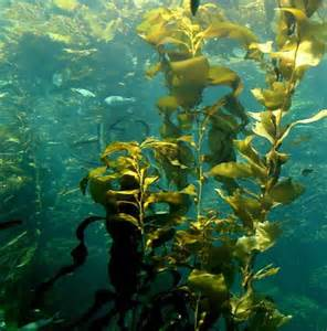 Atlantic Ocean Seaweed Plants