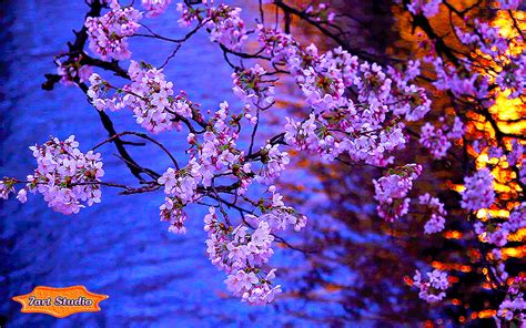 Evening Animated Wallpaper - kyoto evening blooming screensaver animated