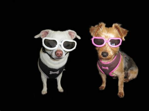 Free Images Cute Pet Dogs Fun Sungl Es Gl Es Chihuahua Yorkshire Terrier Dog Like