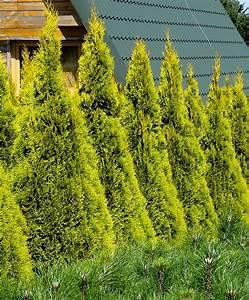 Thuja Smaragd Düngen : thuja cypres golden smaragd ~ Michelbontemps.com Haus und Dekorationen