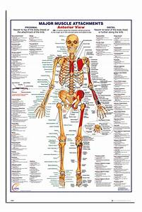 Human Body Major Muscle Attachments Anterior Poster New