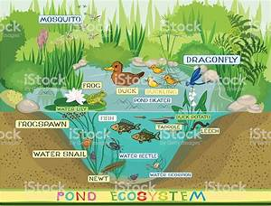 Ecosystem Of Pond Stock Vector Art  U0026 More Images Of 2015