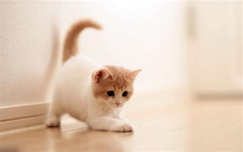 Cute Cat Wallpapers (49 Wallpapers)  Adorable Wallpapers
