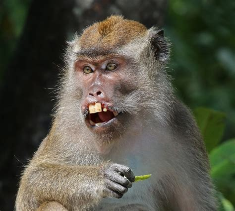 Crab-eating macaque - Wikipedia