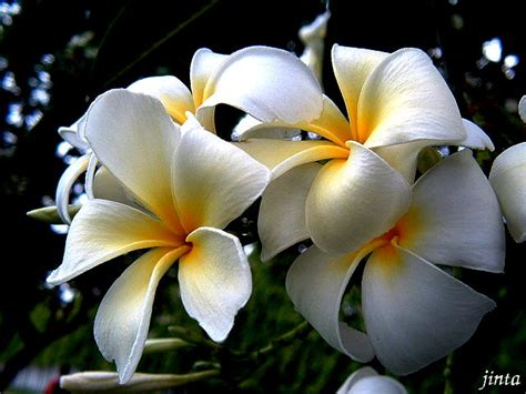 ดอกไม้ประจำชาติ: ดอกลีลาวดี