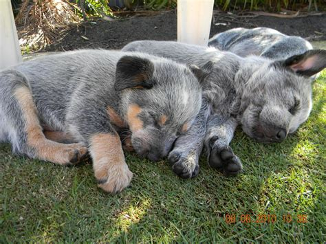 sale stumpy tail cattle dogs