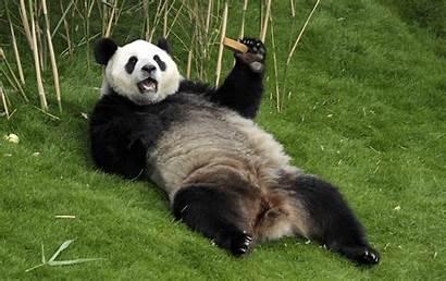 Panda Facts Pandas Giant Interesting Bear Pregnant