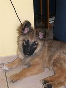 Mini German Shepherd | Dogs | Pinterest