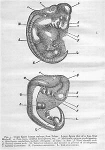 Gorilla Embryo