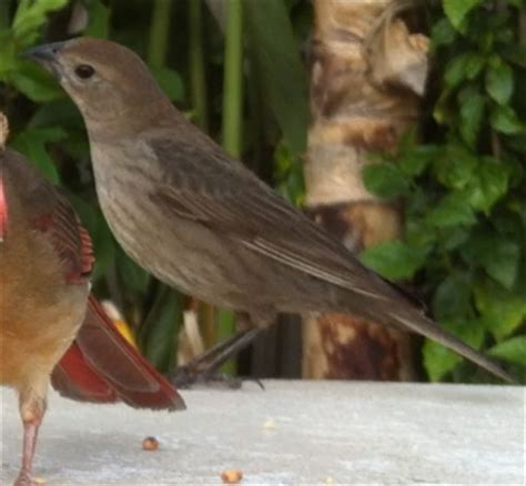 best 28 small brown bird florida backyard birds of