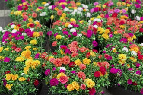 flowers to plant in how to grow and care for the tough and adaptable moss rose plants