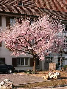 Kleine Bäume Für Den Vorgarten : bluhende baume fur den vorgarten ~ Sanjose-hotels-ca.com Haus und Dekorationen