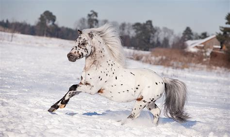 pony americas america foal breed ponies