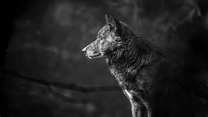 4k Wolf Animals Background Pc Wallpapers Wild