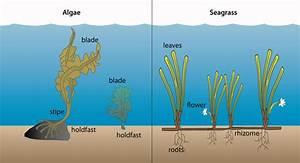 Algae Vs Seagrass