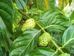Morinda (Morinda Citrifolia / Morinda Officinalis) Overview, Health Benefits, Side effects ... Morinda