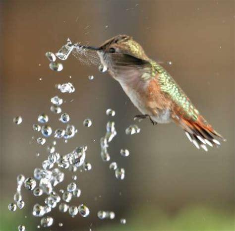 hummingbird breaking water bubble with her beak