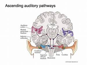 Perception Lecture Notes  Auditory Pathways And Sound