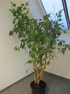 Große übertöpfe Für Zimmerpflanzen : gro e zimmerpflanzen f r ihre wohnung b ro in m nchen pflanzen kaufen und verkaufen ber ~ Bigdaddyawards.com Haus und Dekorationen