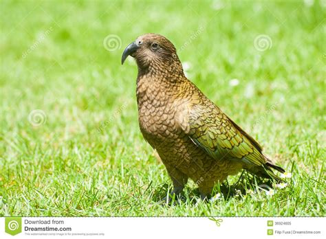 is a bird an omnivore kea royalty free stock photo image 36924605