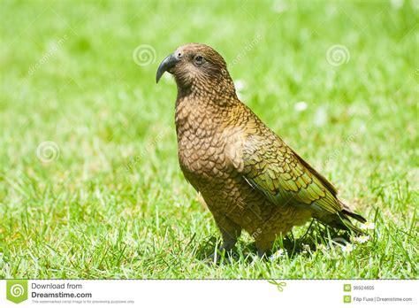 is a bird an omnivore kea royalty free stock photo image 36924605