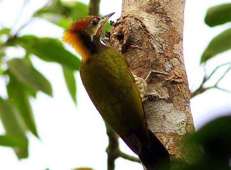pelatuk  tidak  hutan indonesia rusak mongabay