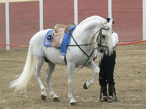 andalusian horse breed characteristics uses history information strains sub types