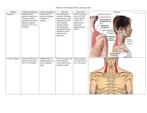 Shoulder muscles back muscles shoulder muscle anatomy neck muscle anatomy shoulder joint chest muscles major muscles bones and muscles what are the most beneficial back exercises? Muscles of the Shoulder, Back, and Upper Arm Muscle Medial