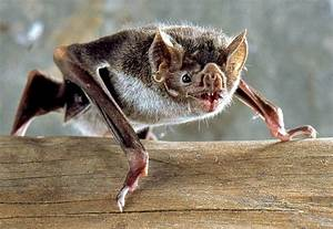Vampire Bat Facts  U2013 Questions And Answers