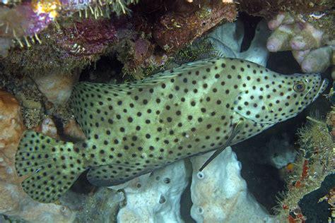 barramundi cod altivelis raja ampat fish grouper kri eco prev species