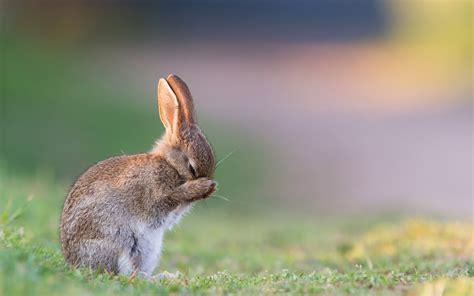 wallpaper rabbit cute animals  animals
