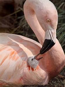 Flamingo mum and baby | Wild Animals | Pinterest | Sweet ...