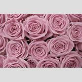 Pink Roses Tumblr Quotes Best Free