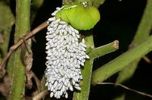 Tomato Hornworm | Covered with Braconid Wasp cocoons ...